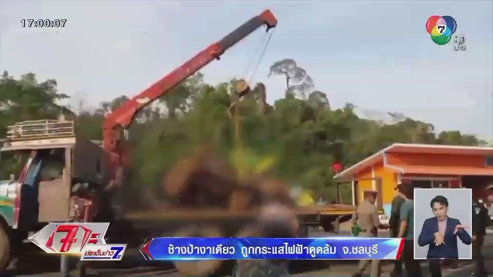 ช้างป่างาเดียวถูกกระแสไฟฟ้าดูดล้มที่ จ.ชลบุรี