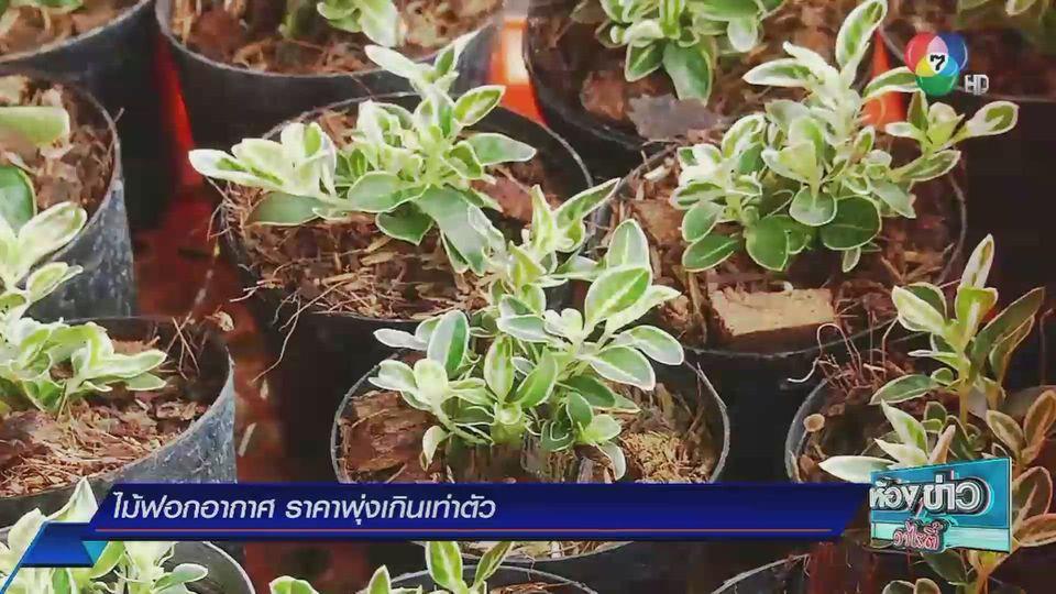 ข่าวเกษตร : ไม้ฟอกอากาศราคาพุ่งเกินเท่าตัว
