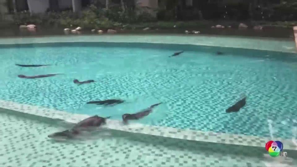 ตัวนากบุกยึดสระว่างน้ำในคอนโดฯ ที่สิงคโปร์