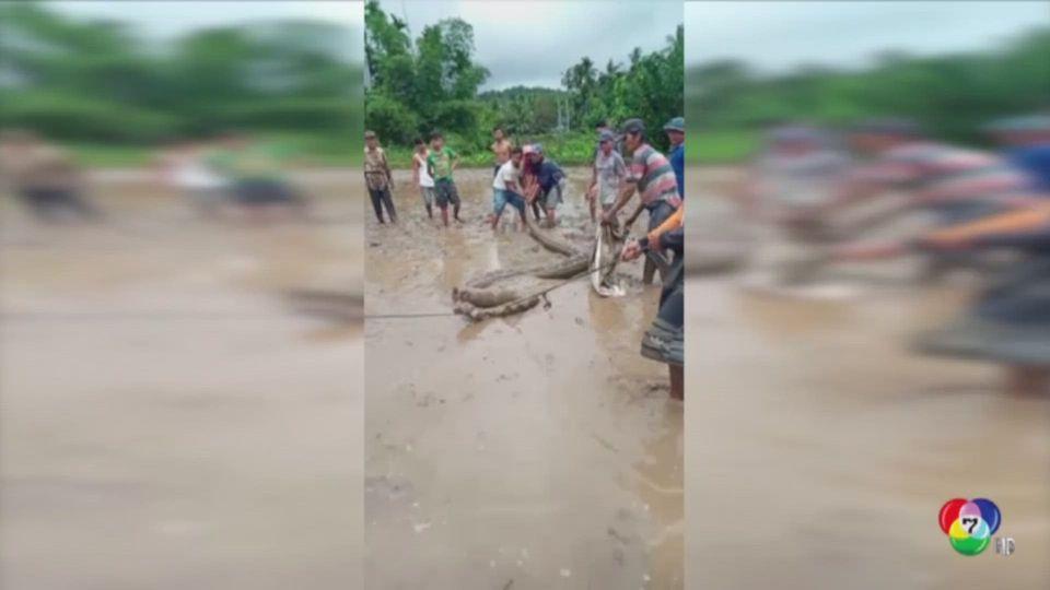 จับงูหลามยักษ์ยาวกว่า 5 เมตร ในอินโดนีเซีย