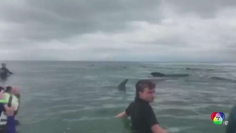 นิวซีแลนด์ช่วยฝูงวาฬนำร่องเกยตื้นกลับสู่ทะเล