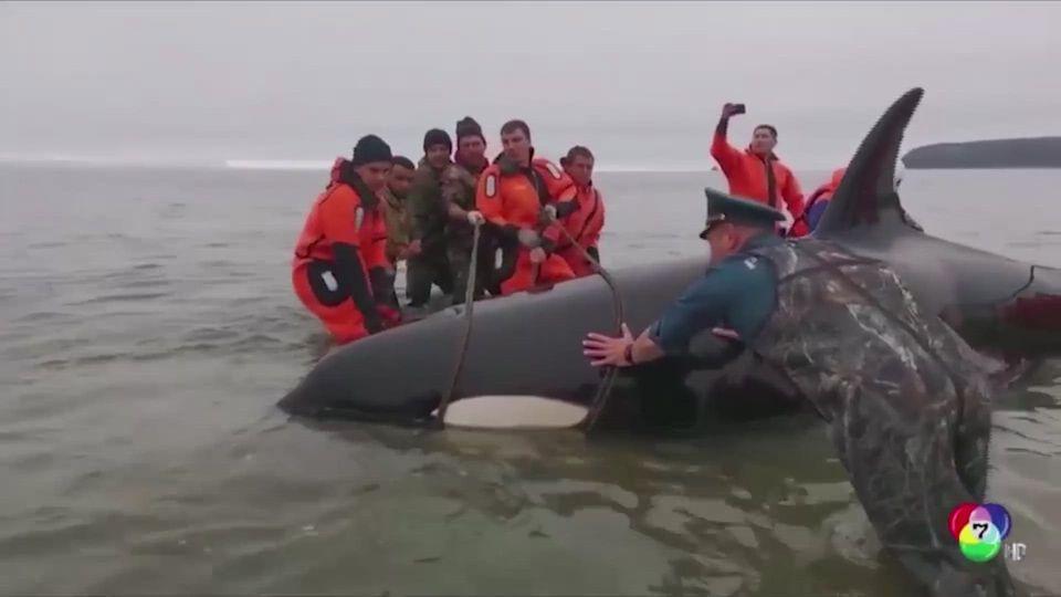รัสเซียเร่งช่วยเหลือลูกวาฬเพชฌฆาตเกยตื้น