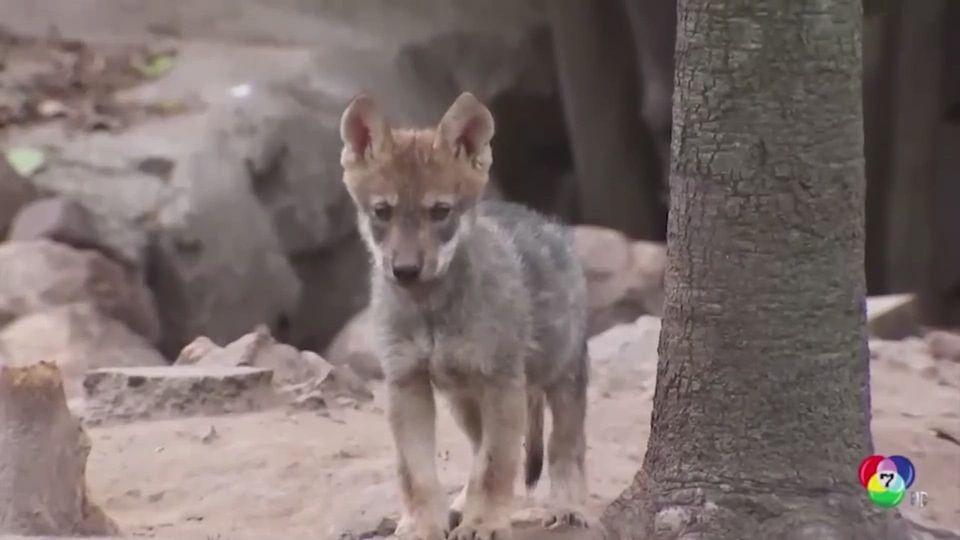สวนสัตว์เม็กซิโก ต้อนรับลูกหมาป่าเกิดใหม่