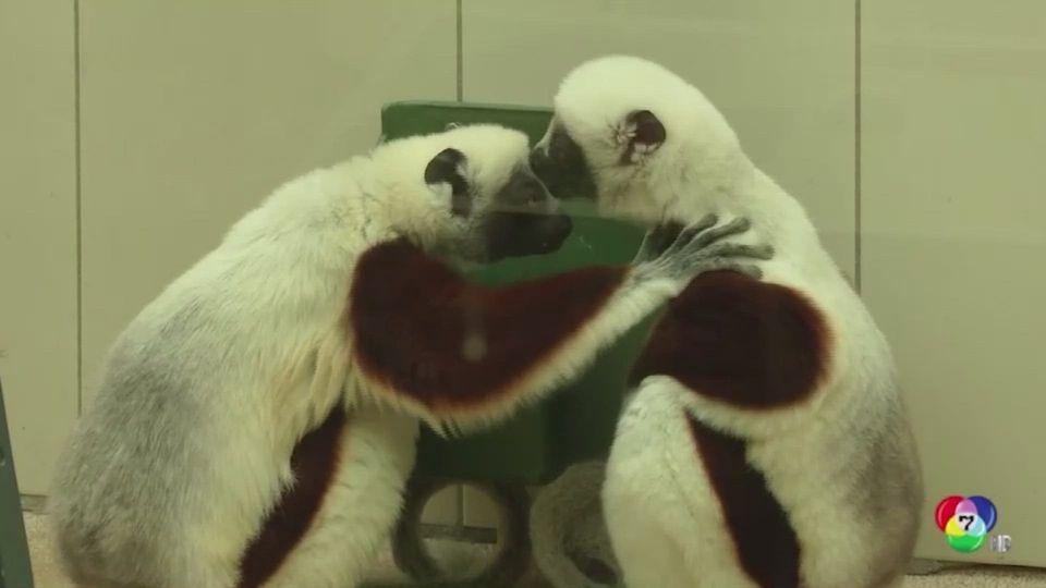 สวนสัตว์เยอรมนีเปิดตัว ลีเมอร์ซิฟากา คู่ใหม่