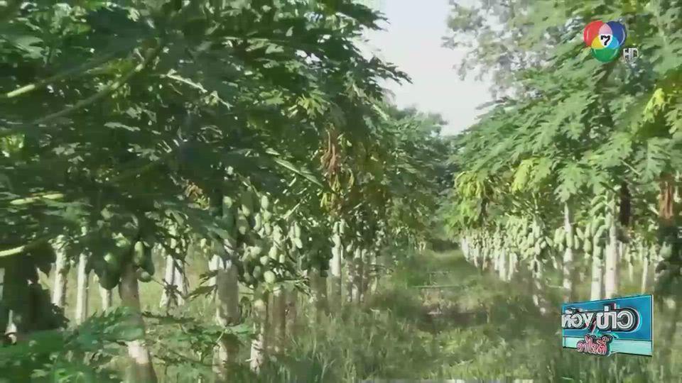 ข่าวเกษตร : เปลี่ยนที่นาทำแปลงปลูกมะละกอ
