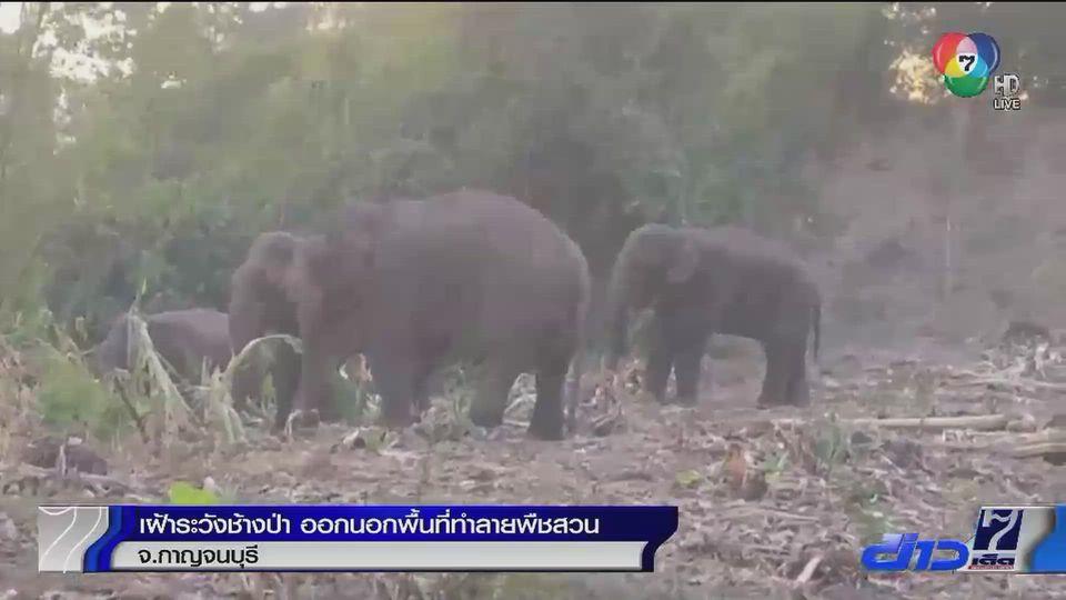 เฝ้าระวังช้างป่าออกนอกพื้นที่ทำลายพืชสวน จ.กาญจนบุรี