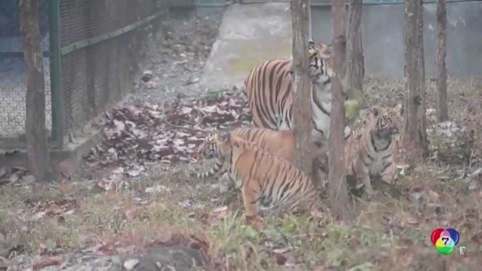 เปิดตัวครอบครัวเสือเบงกอลที่สวนสัตว์อินเดีย