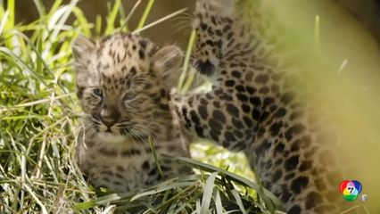 สวนสัตว์สหรัฐฯ เผยภาพลูกเสือดาวอามูร์อายุ 2 เดือน