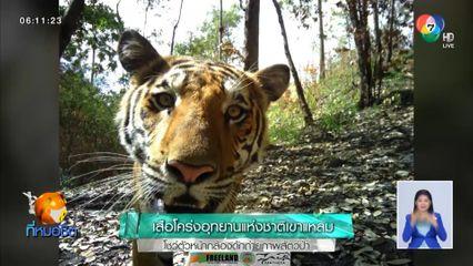 เสือโคร่งอุทยานแห่งชาติเขาแหลม โชว์ตัวหน้ากล้องดักถ่ายภาพสัตว์ป่า