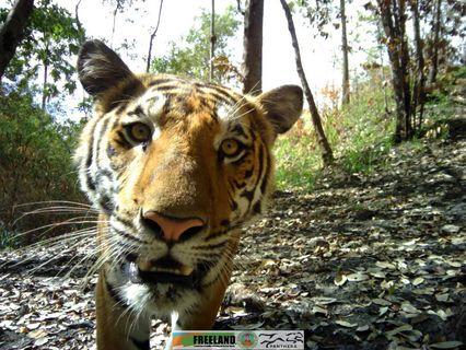 เปิดภาพเสือโคร่งอุทยานฯเขาแหลมแวะมาอวดโฉม