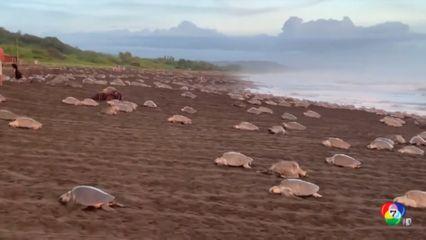 เต่าหลายร้อยตัวขึ้นไปวางไข่บนชายหาดในคอสตาริกา