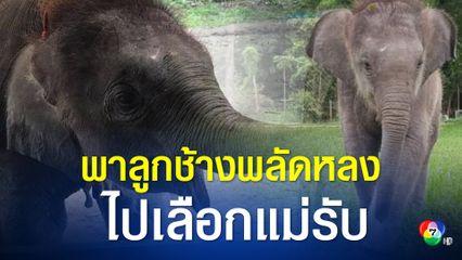 รอลุ้น! ลูกช้างป่าพลัดหลงห้วยขาแข้ง จะเลือกช้างแม่รับตัวไหน