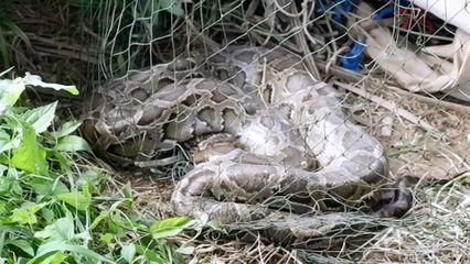 งูหลามบุกเขมือบไก่ชนถูกอวนพันขย้อนเหยื่อ