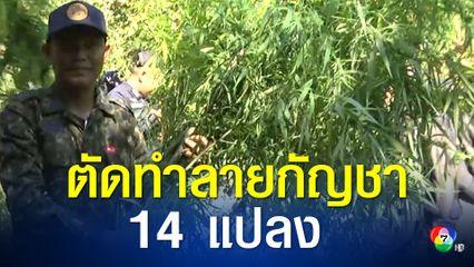 ป.ป.ส.ตัดทำลายกัญชา 14 แปลง ลักลอบปลูกบนเขาภูพาน