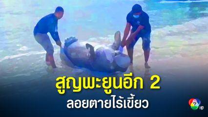 น่าเศร้า สูญเสียพะยูนกระบี่อีก 2 ตัว ลอยตายกลางทะเลไร้เขี้ยว