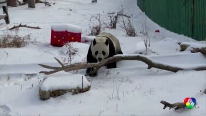 แพนด้าเล่นหิมะอย่างสนุกสนานในสวนสัตว์จีน