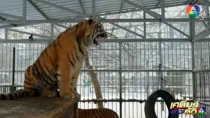 ลูกเสือดาวอามูร์ร้องเพลงในสวนสัตว์รัสเซีย