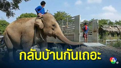 ช้างตกงาน 5 เชือก ที่บางละมุง ได้รถพากลับบ้านแล้ว