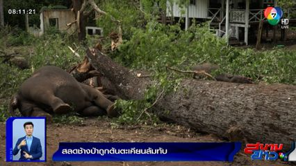 รายงานพิเศษ : สลดช้างป่าถูกต้นตะเคียนล้มท้บ