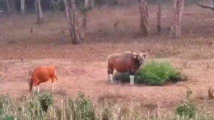 ฝูงวัวแดง-หมูป่า โชว์ตัวกินอาหาร ในป่าห้วยขาแข้ง จ.อุทัยธานี