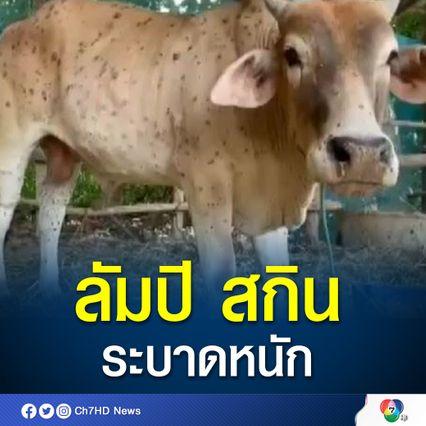 ลาวพบ โรคลัมปี สกิน ระบาดหนักในวัวควาย