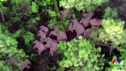 โดรนเผยภาพฝูงช้างป่านอนหลับในป่าอีก