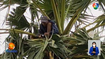 ตาอายุ 82 ปี ยังยึดอาชีพปีนต้นตาลสูงเสียดฟ้า จ.สิงห์บุรี