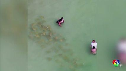 แตกตื่น! ฝูงกระเบนโอบล้อมนักท่องเที่ยวในฟลอริดา