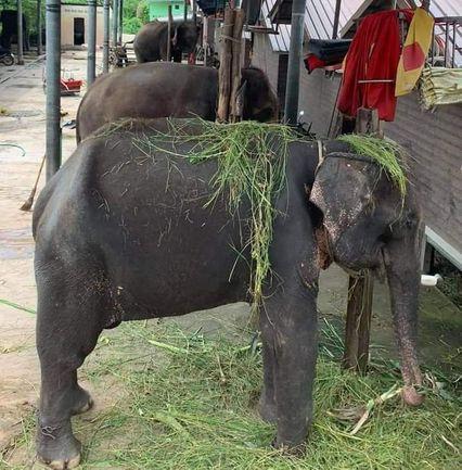แจงดรามาทารุณช้าง ล่ามโซ่ขาคู่ ผูกคอ เพื่อความปลอดภัย เหตุเกณฑ์ควาญไปหาอาหารให้ช้าง