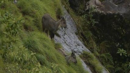 กวางผา สัตว์ป่าสงวนหายากโผล่อวดโฉมดอยอินทนนท์