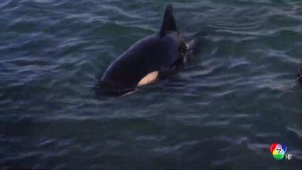ช่วยลูกวาฬเพชฌฆาตเกยตื้นในนิวซีแลนด์