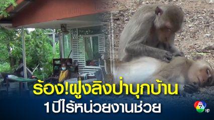 ร้องฝูงลิงป่าบุกบ้าน ไร้หน่วยงานแก้ไข