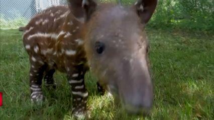 เผยโฉมลูกสมเสร็จอเมริกากลาง ในสวนสัตว์ออดูบอน