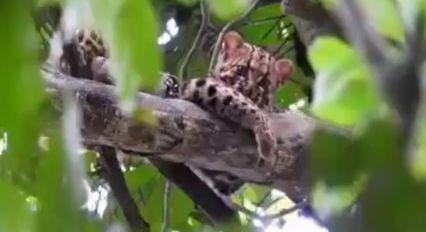 แมวป่าลายหินอ่อน 1 ใน 19 ชนิด สัตว์ป่าหายาก อวดโฉมป่าเขาใหญ่