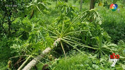 ช้างป่าแก่งกระจานบุกโค่นต้นมะละกอในสวนชาวบ้าน