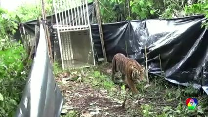 อินโดนีเซีย ปล่อยเสือโคร่งสุมาตรา กลับคืนสู่ป่า