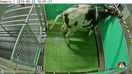 นักวิทยาศาสตร์ชี้สอนวัวเข้าห้องน้ำ ช่วยลดภาวะโลกร้อน
