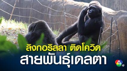 สวนสัตว์ในสหรัฐฯ พบลิงกอริลลา 18 ตัวติดโควิด