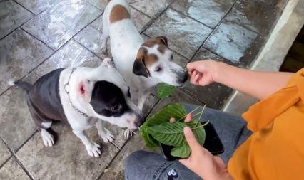 ฮือฮาสุนัข 3 ตัว ชอบกินใบกระท่อม