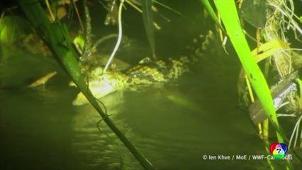 กัมพูชา พบลูกจระเข้สยาม ในแม่น้ำเขตอนุรักษ์พันธุ์สัตว์ป่า